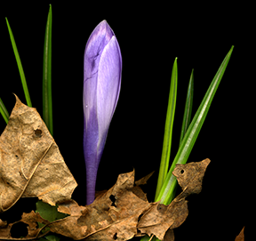 Crocus in early spring (photo by Jeanne Mayell a.r.r.)
